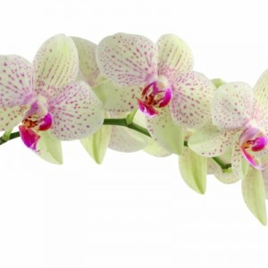 Orchids-Flower-Wallpapers11